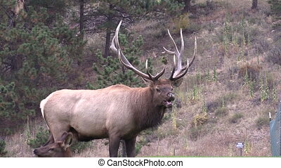 Bull Elk - a bull elk during the rut