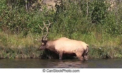 Bull Elk - a bull elk in a river during the rut
