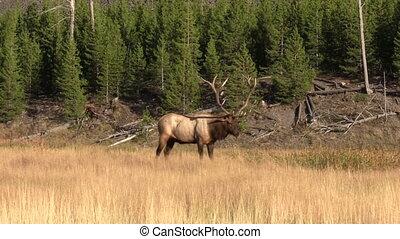 Bull Elk - a bull elk in meadow during the fall rut