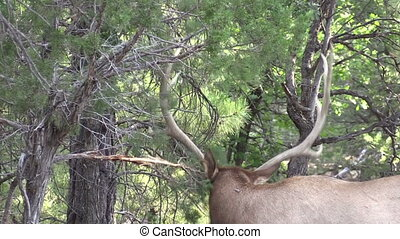 Bull Elk - a bull elk rubbing his antlers on a tree