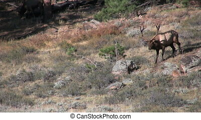 Bull Elk - a bull elk walking across a mountainside