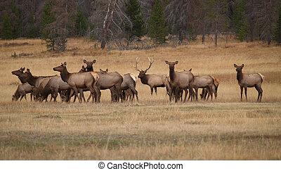 Bull Elk and His Harem - Bull elk and his harem in Colorado