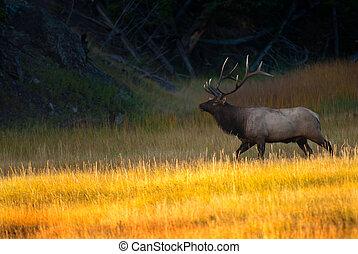 Bull Elk at Sunrise in Yellowstone National Park