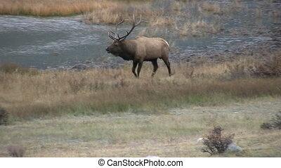 Bull Elk Bugling - a bull elk bugling during the fall rut