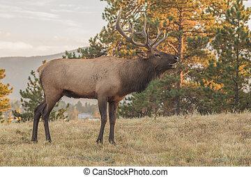 Bull Elk Bugling - bull elk bugling during the fall rut