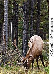Bull elk, cervus canadensis, grazing