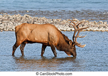Bull elk, cervus canadensis in Athabasca River, Jasper National Park, Alberta, Canada