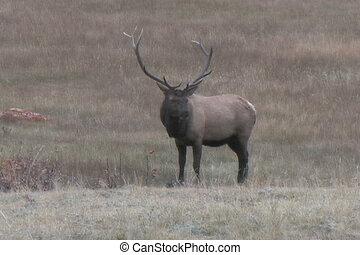 Bull Elk Feeding - a big bull elk feeding in a meadow