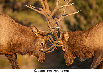 a pair of bull elk fight for dominance in the rut