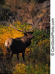 a nice bull elk stands with golden fall foiage in the background