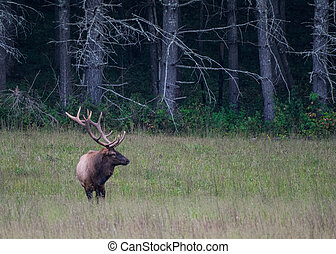 Bull Elk in Field with Copy Space Right