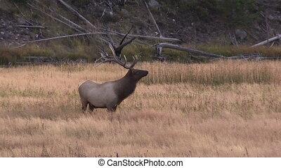 Bull Elk in Rut - a rutting bull elk in a meadow
