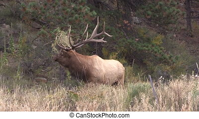 Bull Elk in Rut Bugling - a bull elk bugling in the rut
