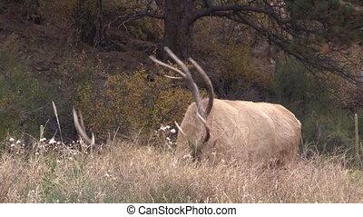 Bull Elk in Rut Bugling