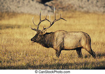 Bull Elk (Cervus canadensis) looking for mate in Yellowstone...