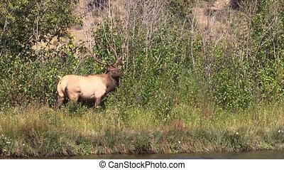Bull Elk Raking Antlers - a bull elk raking his antlers in...