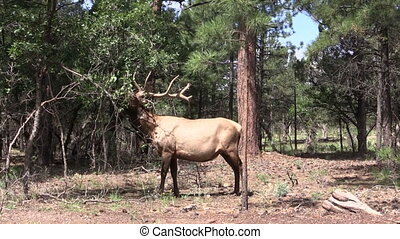 a bull elk rubbing his antlers on a tree