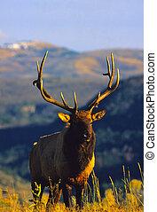 Bull Elk - a big bull elk on a mountain ridge