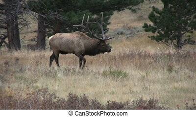Bull Elk Walking - a big bull elk walks past a bedded cow