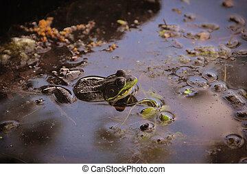 Bull Frog in Pond - A bull frog hiding in the murky lake...