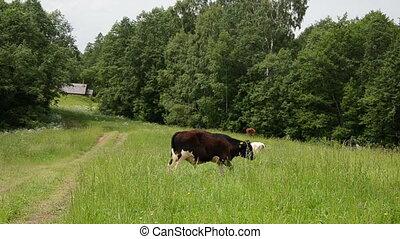 bull graze road house - bulls animals graze in pasture near...