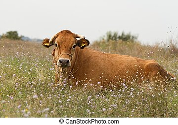 Bull grazing in the meadow on summer day.