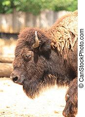 bull head - head of bull from the Prague ZOO