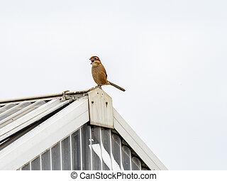 bull-headed shrike on a rooftop 1