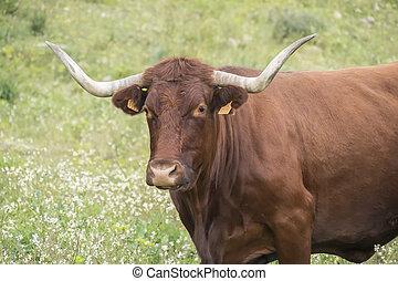 Bull in a flowery meadow