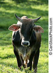 Bull in a Pasture