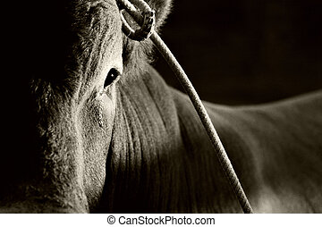 bull in rodeo - bull at rodeo seemingly sheds a tear as it...