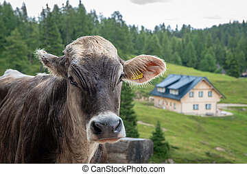 bull in the Alpine resort next to a holiday cottage