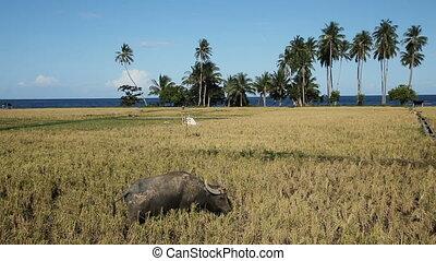 Bull in the rice field