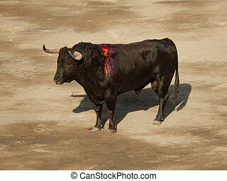 bull inside the arena. bull in the bullfighting.