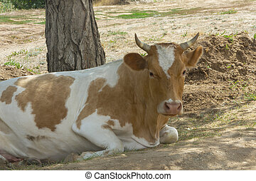 Bull lies on the ground under tree. Portrait of cow close-up selective focus