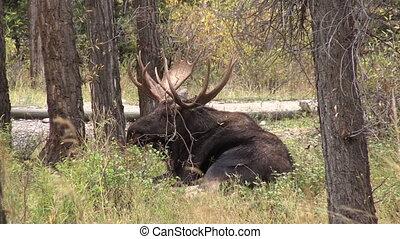 Bull Moose - a bull moose bedded