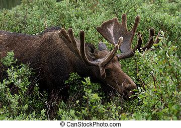 Bull Moose eating shrubs - Male bull moose eating shrubs and...