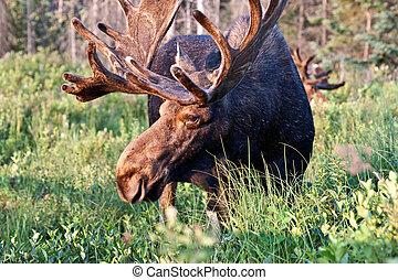 Bull moose image - Bull moose feeding in Algonquin Park,...