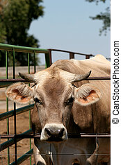 bull in a pen sticking his head out