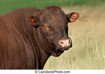 Bull portrait - Portrait of a bull against a pasture...