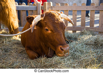 Bull resting in hay in an enclosure