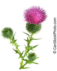 Bull Scotch Thistle spear Flower isolated on white
