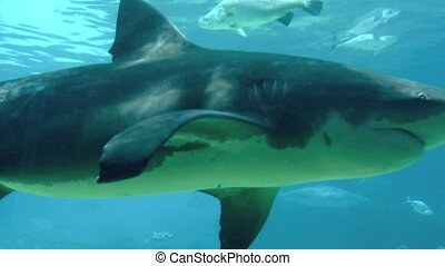 Bull shark Gold Coast Australia - Bull shark Gold Coast...