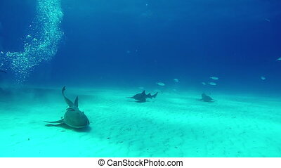 Bull Shark with diver underwater on sand of Tiger Beach...