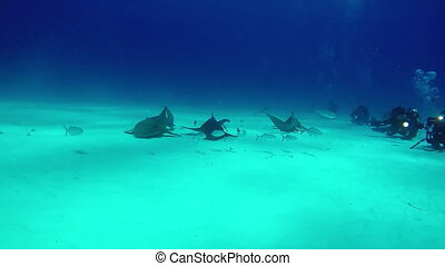 Bull Shark with divers underwater on sand of Bahamas....