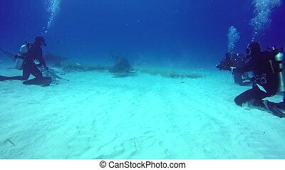 Bull Sharks feeding underwater on sandy bottom of Tiger...