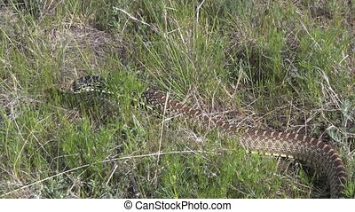 Bull Snake - a bull snake slithers through the grass