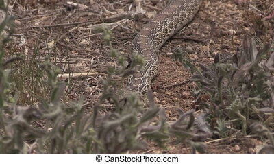 Bull Snake - a bull snake slithers towards the camera
