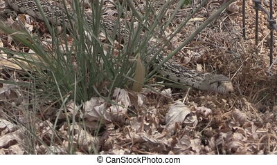 Bull Snake in Grass - a bull snake slithers through some...