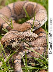 Bull Snake in the grass